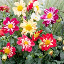 Suttons Seeds - Dahlia - Yanky Doodle Dandy