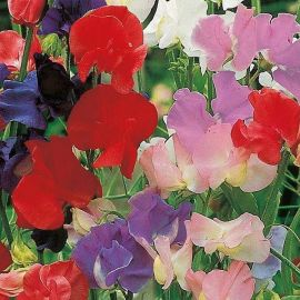 Suttons Seeds - Sweet Pea - Old Fashioned Scented Mix