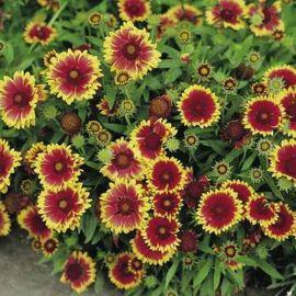 Suttons Gaillardia Goblin Flower Seeds - Pack Of 160