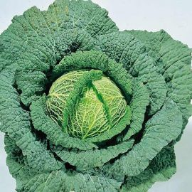 Suttons Seeds - Savoy Cabbage - Ormskirk (1) Rearguard