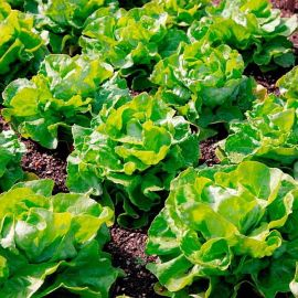 Suttons Seeds - Lettuce - Unrivalled
