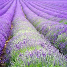 Suttons Hidcote Blue Lavender Seeds - Pack Of 50